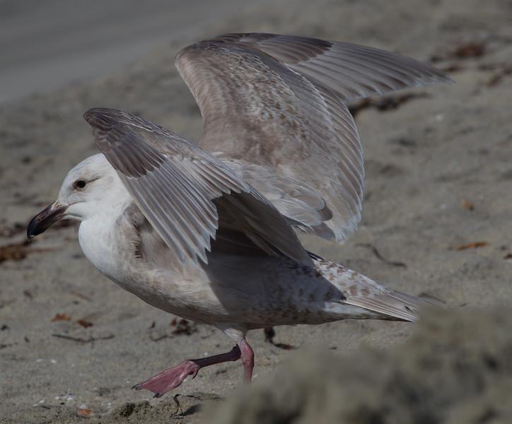 Glaucous-winged Gull Carlsbad 2015 02 22-4.jpg