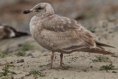 Glacous-winged Gull Carlsbad 2015 02 22-1.CR2