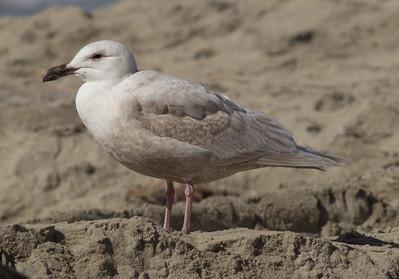 Glaucous-winged Gull Carlsbad 2015 02 22-1.CR2