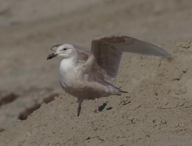 Glaucous-winged Gull Carlsbad 2015 02 22-5.CR2