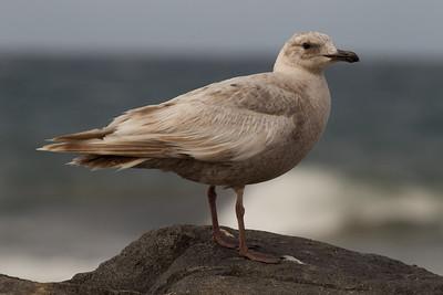 Glaucous-winged Gull Carlsbad 2011 05 18-4-2.CR2