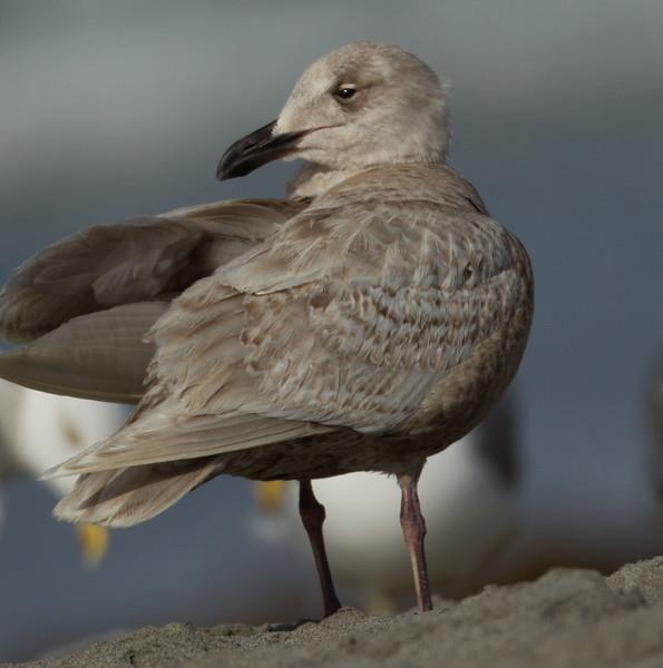 Glaucous-winged Gull Oceanside Beach 2014 03 26-2.CR2