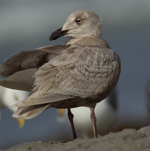 Glaucous-winged Gull Oceanside Beach 2014 03 26-2.CR2