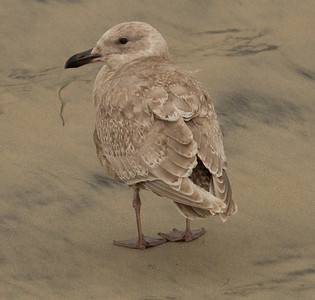 Glaucous-winged Gull Carlsbad 2014 12 30-1.CR2