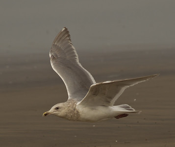 Glaucous-winged Gull Camp Pendleton 2014 02 23-3.CR2