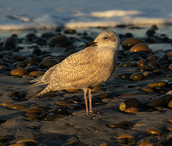 Glaucous Winged Gull  Ponto Beach 2020 12 26-2.CR3