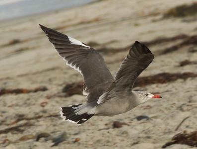 Heermann`s Gull Cardiff Beach 2012 09 10-3.CR2
