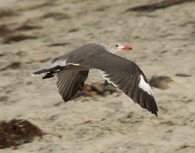 Heermann`s Gull Cardiff Beach 2012 09 10-4.CR2