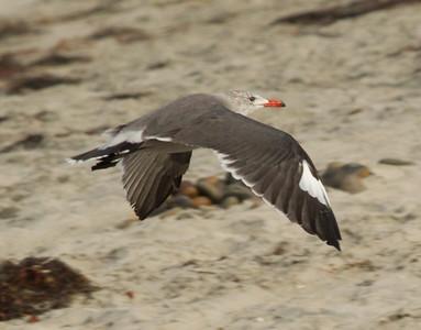 Heermann`s Gull Cardiff Beach 2012 09 10-4.CR2