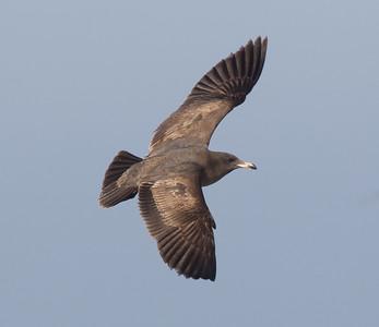 Heerman`s Gull San  Diego Waters 2015 01 01-5.CR2-4.CR2
