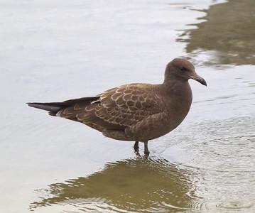 Heermann`s Gull  Oceanside 2011 07 03-1.CR2-1.CR2