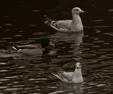 Herring  Gull Ring-billed Gull  Oceanside 2013 11 22-1.CR2