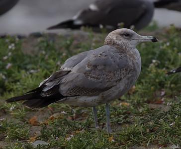 Herring Gull  Ponto Beach 2015 12 10-1-2.CR2