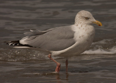 Herring Gull Carlsbad Ca 2010 10 19-4.CR2