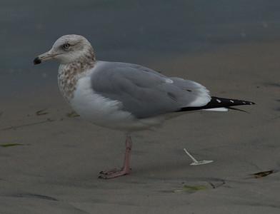 Herring Gull  Ponto Beach 2015 01 30-4.CR2
