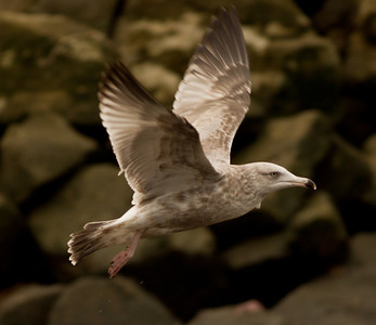 Herring  Gull  Oceanside 2013 11 22-1.CR2