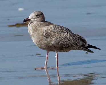 Herring Gull  Encinitas 2013 11 18 (20130917 of 2).CR2