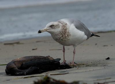 Herring Gull  Ponto Beach 2015 01 30-2.CR2