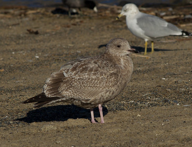 Herring Gull   Dana Point  2011 12 28   (3 of 3).CR2