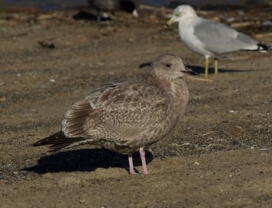 Herring Gull   Dana Point  2011 12 28   (3 of 3).CR2