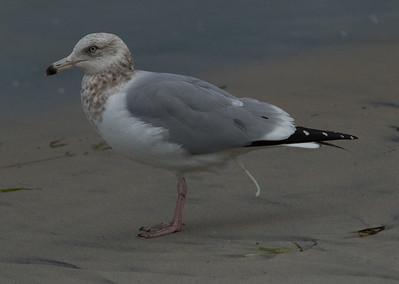 Herring Gull  Ponto Beach 2015 01 30-3.CR2