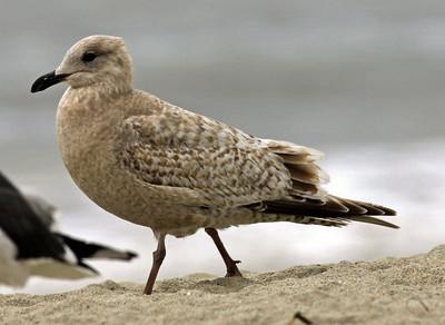 Herring Gull   Carlsbad 2009 02 02-1.jpg\\