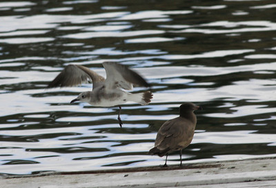 Laughing Gull  Oceanside 2009 02 19-1.jpg