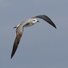 Laughing Gull San  Diego Waters 2015 01 01-5.CR2-2.CR2