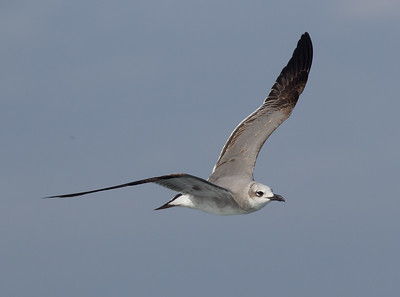 Laughing Gull San  Diego Waters 2015 01 01-5.CR2-3.CR2