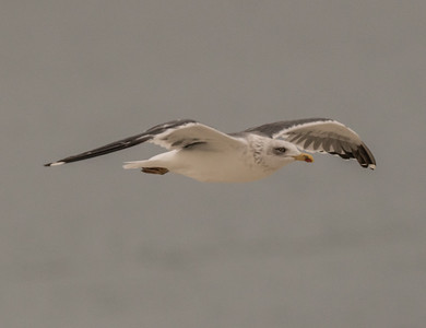 Lesser Black-backed Gull Coronado Island 2018 12 05-6.CR2
