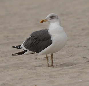 Lesser Black-backed Gull Coronado Island 2018 12 05-1.CR2