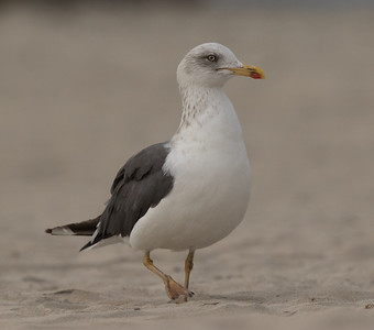 Lesser Black-backed Gull Coronado Island 2018 12 05-2.CR2