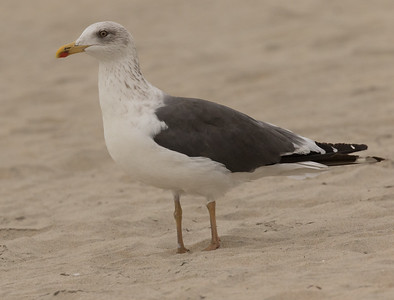 Lesser Black-backed Gull Coronado Island 2018 12 05-5.CR2