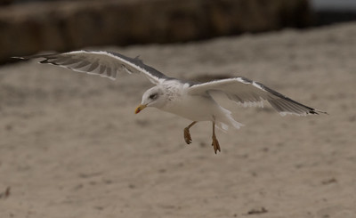 Lesser Black-backed Gull Coronado Island 2018 12 05-9.CR2