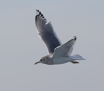 Mew Gull San  Diego Waters 2015 01 01-5.CR2-5.CR2