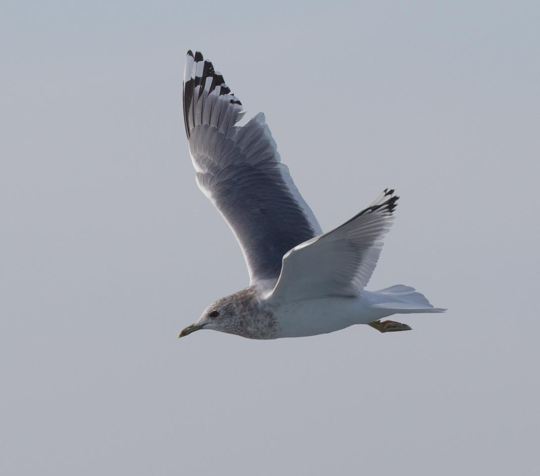 Mew Gull San  Diego Waters 2015 01 01-5.CR2-5.CR2