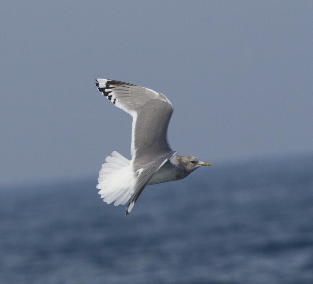 Mew Gull San  Diego Waters 2015 01 01-5.CR2-2.CR2
