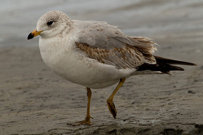 Ring-billed Gull  Encinitas 2012 01 16 (2 of 2)-2.CR2