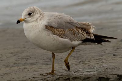 Ring-billed Gull  Encinitas 2012 01 16 (2 of 2)-2.CR2