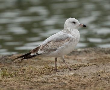 Ring-billed  Gull Ponto Beach 2016 12 09-1.CR2