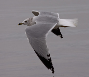 Ring-Billed Gull  Carlsbad 2009 12 12-2.JPG