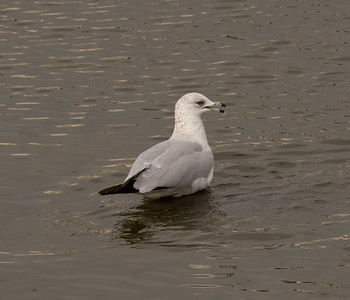 Ring-billed Gull  San Luis Rey River Oceanside 2016 10 11-2.CR2