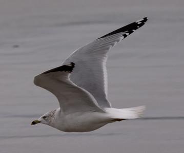 Ring-Billed Gull  Carlsbad 2009 12 12-3.JPG