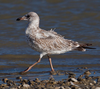 Ring-Billed Gull Crowley Lake 2010 08 18-2.CR2