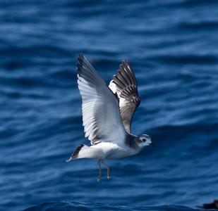Sabine`s Gull San Diego Waters 2013 10 14.CR2