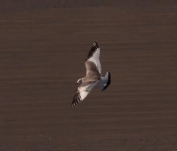 Sabine`s Gull Crowley Lake 2009 09 20-1.CR2