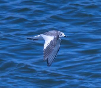 Sabine`s Gull Crowley Lake 2021 10 14-4.CR3