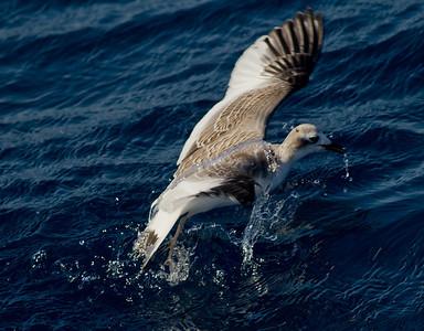 Sabine`s Gull San Diego Waters 2013 10 14-2.CR2