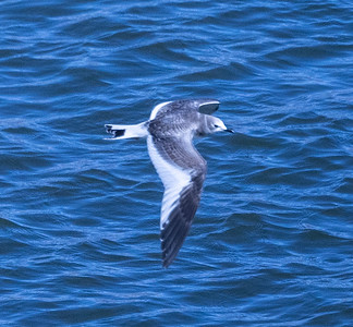 Sabine`s Gull Crowley Lake 2021 10 14-3.CR3