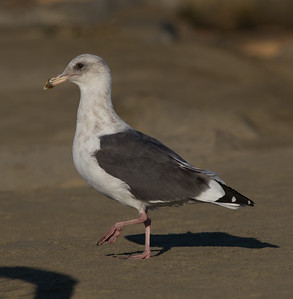 Western Gull Oceanside 2014 08 17 (2 of 2).CR2
